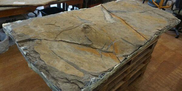 Skelettfund - Foto: © Staatliches Naturhistorisches Museum